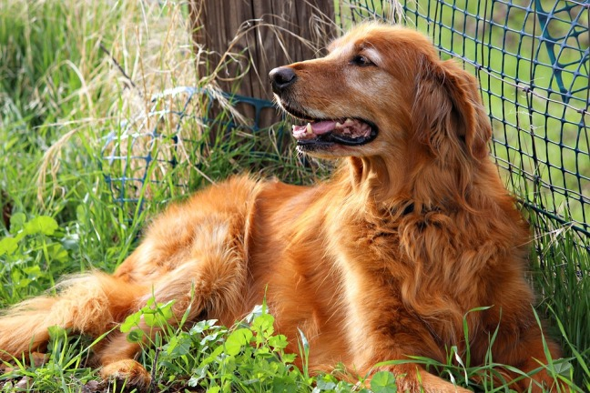 golden-retriever-1729519_960_720